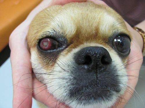 Язва роговицы у собаки и рука хозяйки