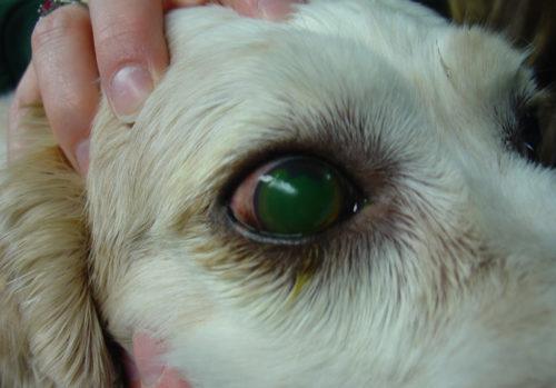 Язва роговицы у собаки светлого окраса