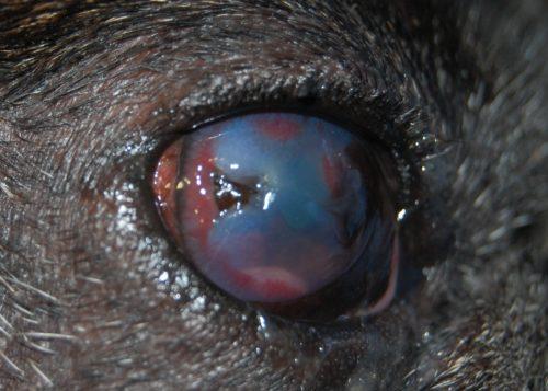 Язва роговицы у собаки чёрного окраса