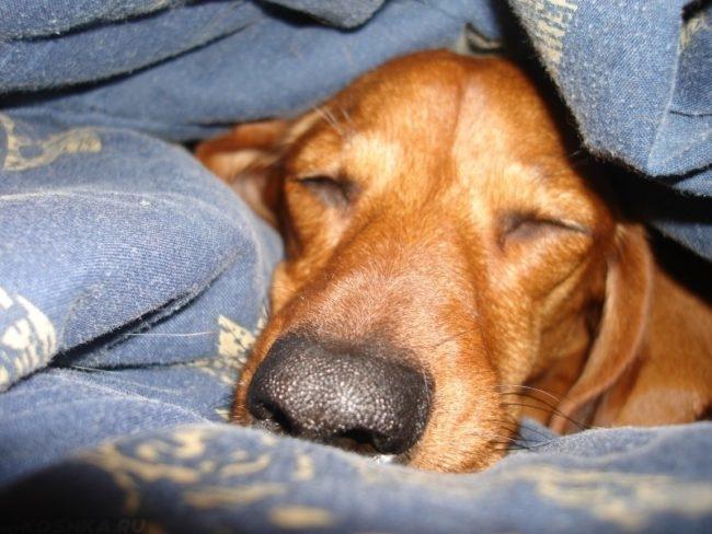Собака коричневого окраса под одеялом