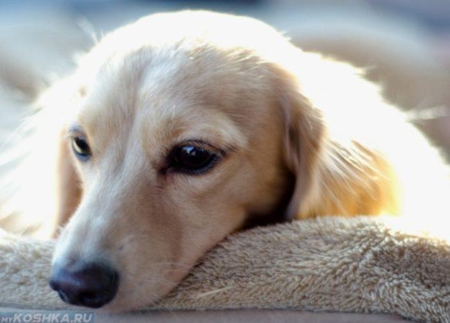 Заболевшая собака светлого окраса