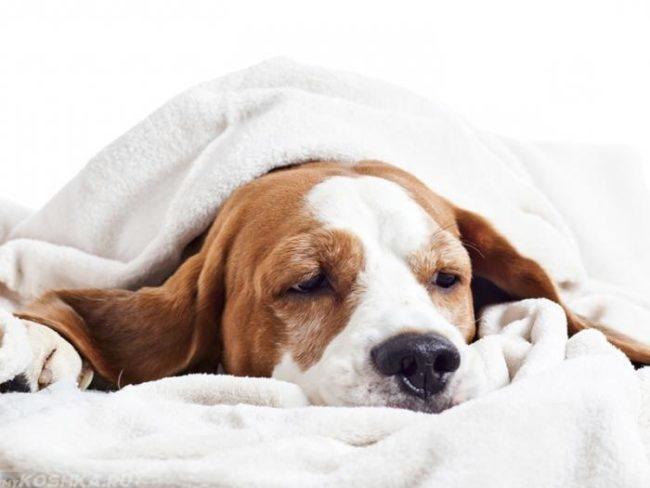 Заболевшая собака под одеялом