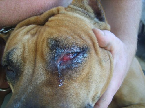 Закисание глаз у собаки в приближенном виде