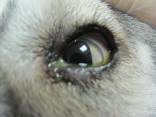 Глаз с гноем у собаки в приближенном виде