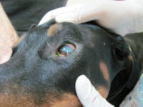 Раскрытие глаза при помощи рук собаке