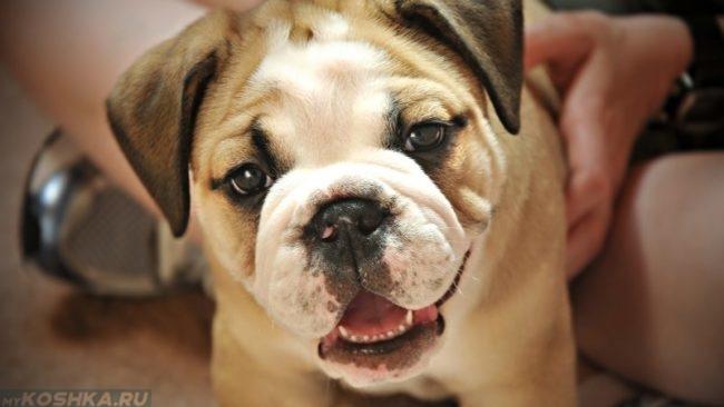 Собака с открытым ртом придерживаемая хозяином