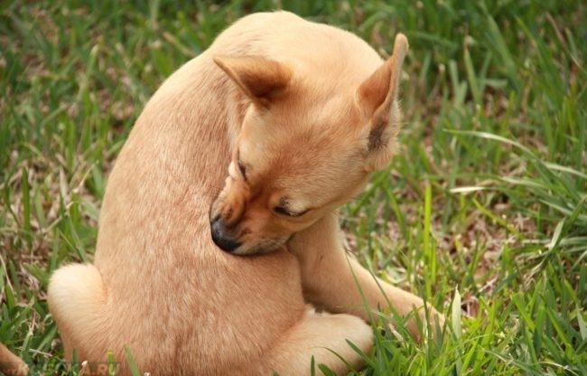 Кожный зуд у собаки сидящей на траве