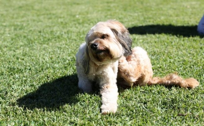 Зуд у собаки на зелёной поляне