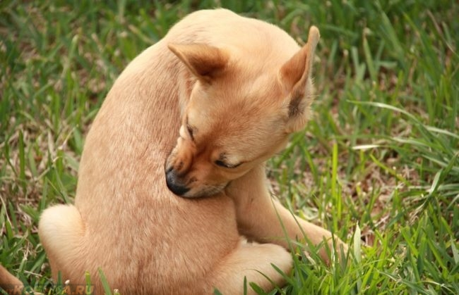 Зуд у собаки сидящей на траве