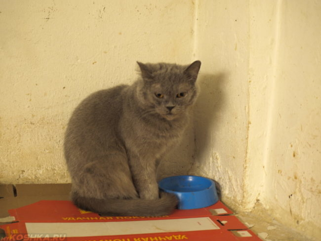 Бездомный серый кот у миски