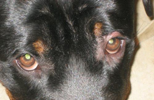 Блефарит у собаки тёмного окраса