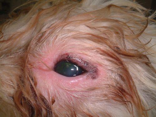 Блефарит у собаки по причине аллергии