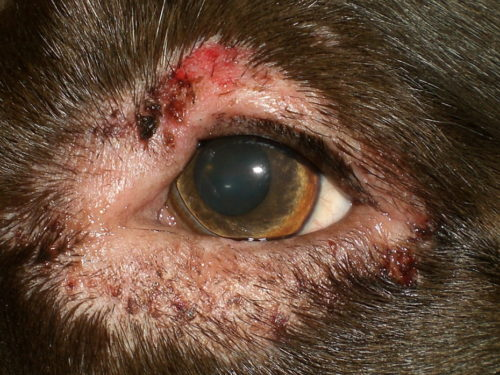 Блефарит у собаки с присутствием боли