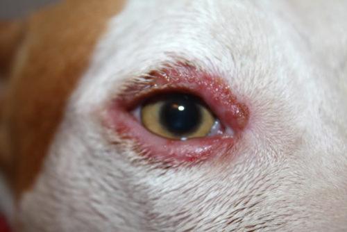 Блефарит у собаки белого окраса