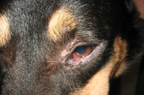 Блефарит у собаки вокруг глаз