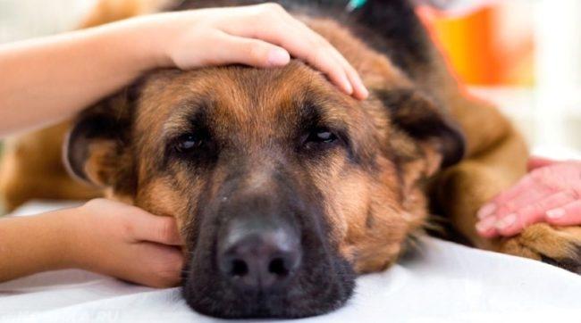 Собака заболевшая гломерулонефритом