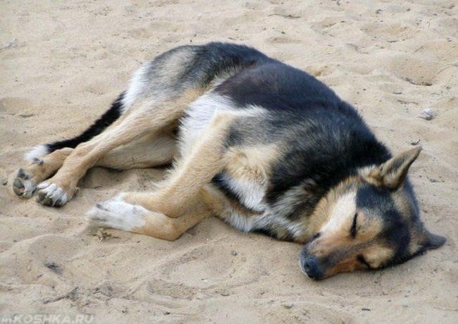Интоксикация организма у собаки