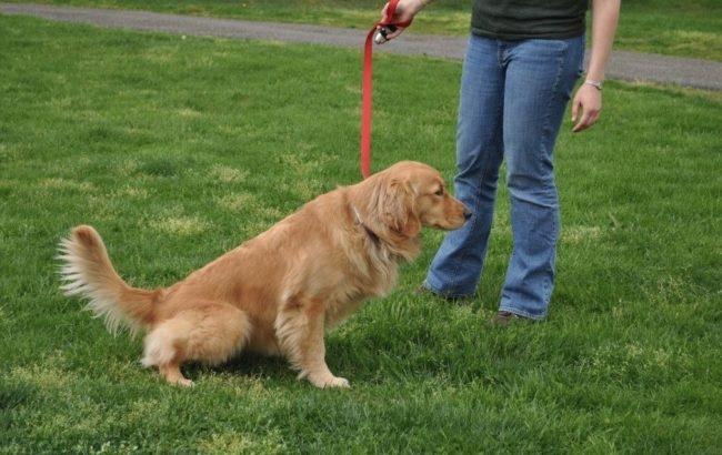 Цистит у собаки справляющей нужду на поляне