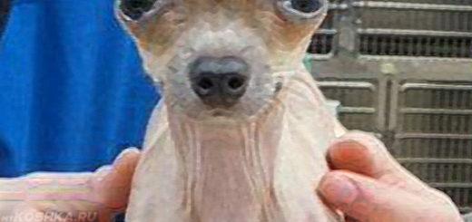 Собака страдающая от гидроцефалии на осмотре у врача