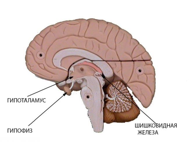 Схема мозга собаки на белом фоне