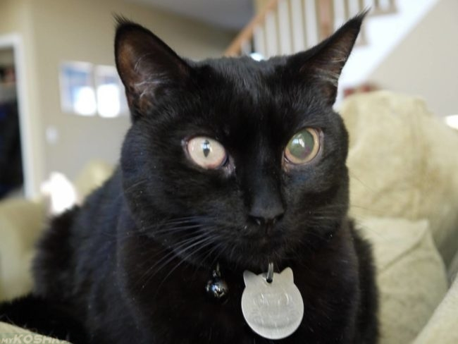 Глаукома у чёрной кошки на одном глазу