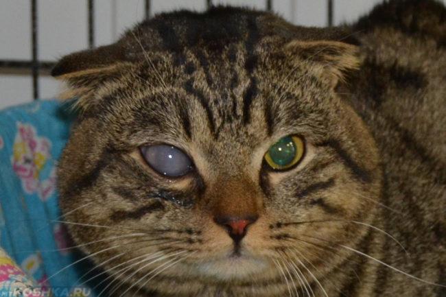 Помутневший глаз у кота при глаукоме