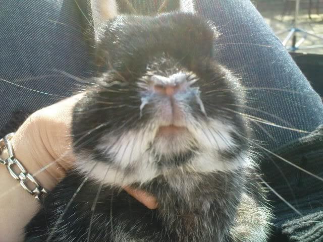 Мордочка кролика с выделениями из носовой полости при пастереллеозе