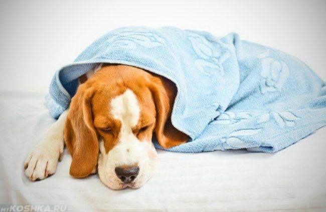 Собака прикрытая одеялом голубого цвета