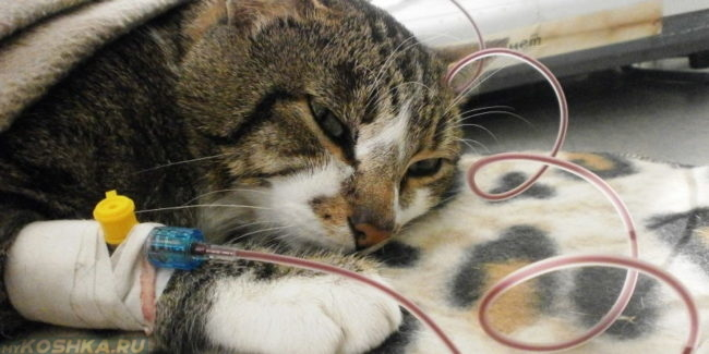 Капельница поставленная кошке
