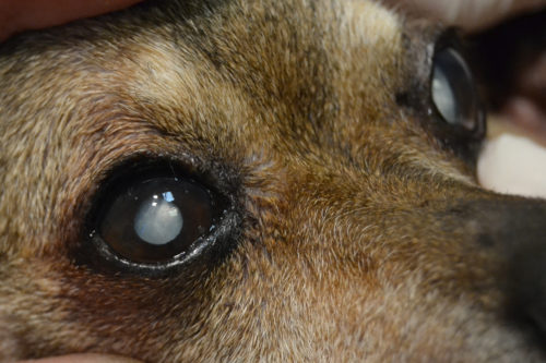 Катаракта у собаки на двух глазах
