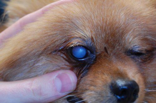 Катаракта у собаки с помутнением