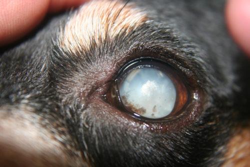 Катаракта у собаки в приближенном виде