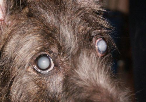 Катаракта у собаки тёмного окраса