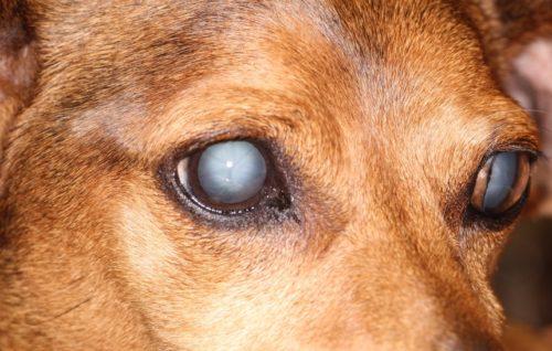 Катаракта у собаки светлого окраса