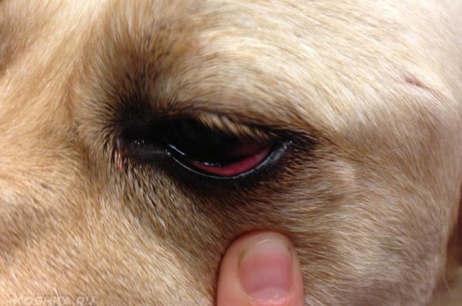Конъюнктивит у собаки и палец