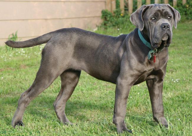 Собака породы неаполитанский мастиф