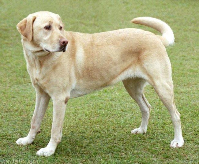 Собака породы лабрадор на улице