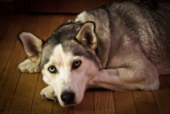 Собака лежащая на полу в доме