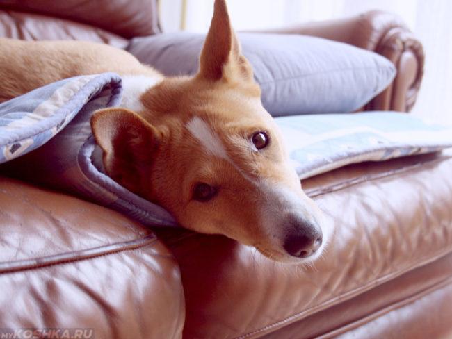 Собака породы басенджи на диване