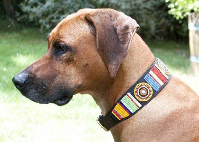 Разноцветный ошейник на собаке