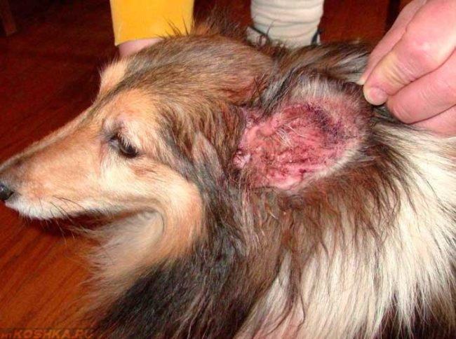 Отит у собаки с длинной шерстью