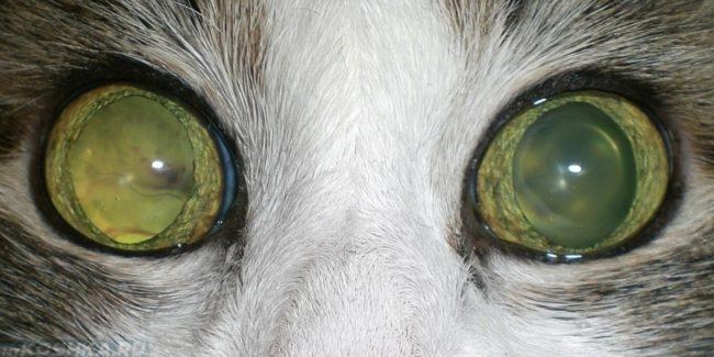 Отслоение сетчатки у кошки