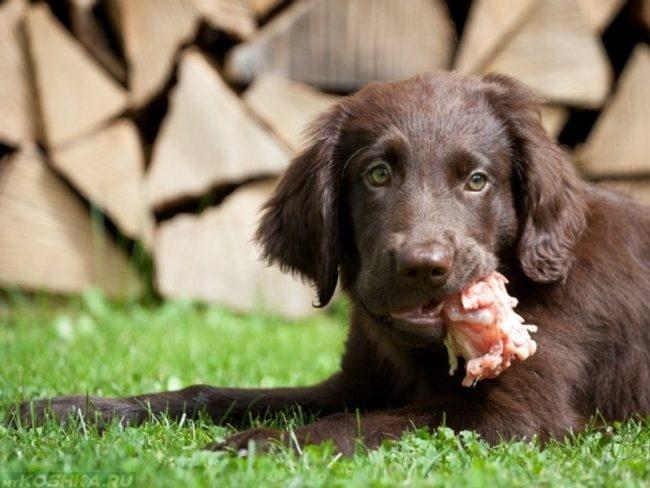 Собака держащая в пасти кусок мяса
