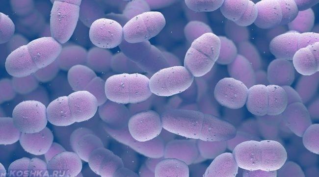 Пневмококки под микроскопом