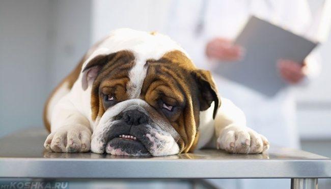 Собака с пневмонией у ветеринара