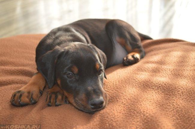 Собака на коричневом одеяле