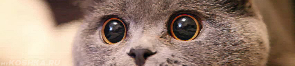 У британского кота расширены зрачки