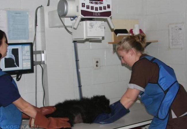 Рентгенография собаки в ветеринарной клинике