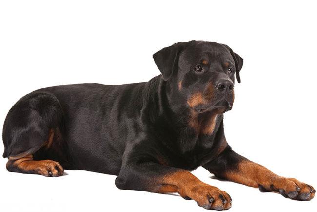 Собака породы ротвейлер на белом фоне