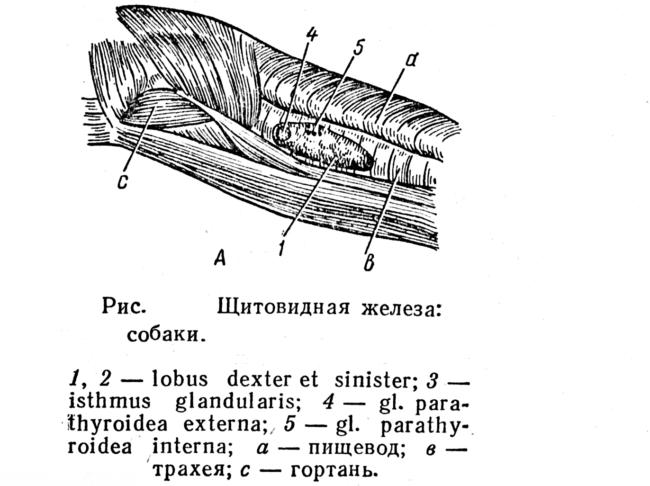 Лимфатическая система собаки в виде рисунка